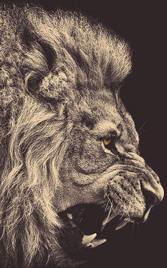 Lion Profile Sepia