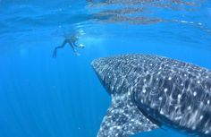 Great Whale Shark and Diver. Guadeloupe Island, French Guiana