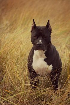 handsome - My dog is a pit.. And they truly are amazing dogs if raised properly.
