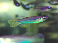 Poropanchax luxophthalmus