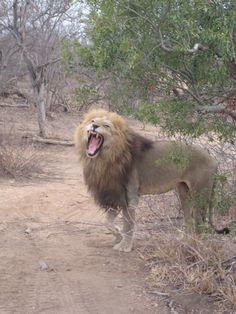 Male Lion Safari Adventure, Male Lion, African Safari, Big Cats, Pet Birds, Tigers, Lions, Awesome, Amazing