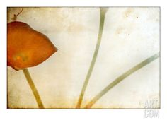 Study of Calla Lily. A Photographic Print by Mia Friedrich at Art.co.uk