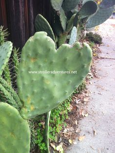 Heart shaped cactus.