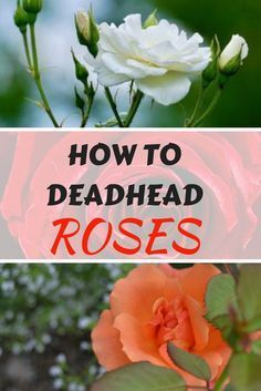 HOW TO DEADHEAD ROSES With A Little Care, Roses Will Bloom All Season Long Roses are one of the most stunning and romanticized flowers in the garden. They also require a little work to keep fresh blooms coming, namely; deadheading. Deadheading is the practice of pruning off dead or fading blossoms in order to promote new ones on the plant. Deadheading directs a plant's energy into stronger growth and therefore more blossoms. Deadheading can be done at any time during the season. #flower…