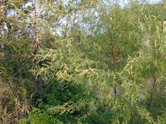 Salix nigra (Black willow)GROWING CONDITIONS Water Use: High  Light Requirement: Sun , Part Shade , Shade  Soil Moisture: Moist , Wet  CaCO3 Tolerance: Low  Soil Description: Clay, Loam, Sand  Conditions Comments: Short-lived and fast-growing. Susceptible to insect and wind damage.