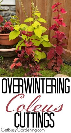 Easy steps for overwintering coleus plants. Coleus can be overwintered indoors a… Easy steps for overwintering coleus plants. Coleus can be overwintered indoors as cuttings or houseplants, it's worth the effort to save money every spring. Growing Vegetables, Growing Plants, Outdoor Plants, Garden Plants, Flowering Plants, Landscaping Plants, Potted Plants, Container Gardening, Gardening Tips