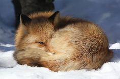 Red Fox Peeking Out   [Explored] by Douglas Brown, via Flickr