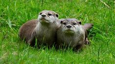 A pair of otters photographed in Camperdown Wildlife Park in Dundee.