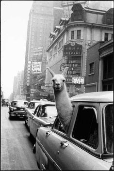 A llama in Times Square, New York City, 1957