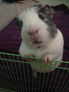 """""""Hello!"""" (This is my guinea pig)"""