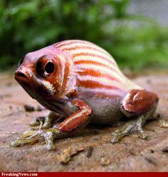 (2011-06) Frog + fish = frish?