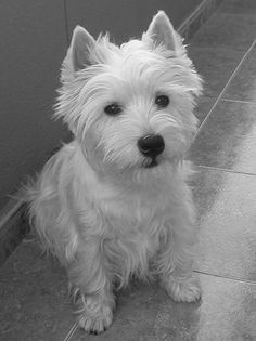 Our sweet westie, Angus.