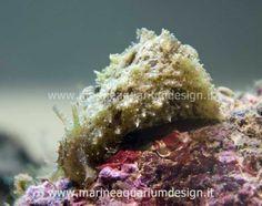 Dolabella auricolaria - instancabile alghivoro per acquario marino tropicale