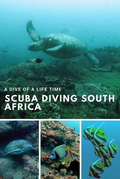 South Africa as your next favourite SCUBA diving destination? Sure! Africa's Southern most reef reaches to stunning Sodwana bay where you will encounter sea turtles, an extraordinary variety of colourful fish, corals and maybe even a raggie. Save this pin and click on the picture to learn more about diving in South Africa. Affordable, unspoilt and just breath taking! #scubadivingdestinations