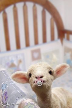 My heart just melted! Baby lamb