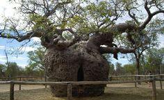 Prisão Árvore Boab ao sul de Derby na Austrália