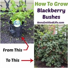 How to Grow Blackberry Bushes....
