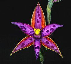 Thelymitra Variegata | Thelymitra variegata , the Queen of Sheba. Iridescent, spectacularly ...