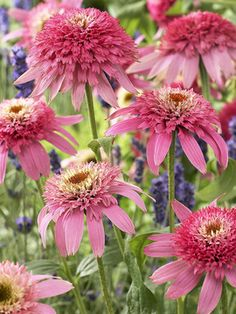 "Echinacea Pink Double Delight ~ Short in height, 16""; nice texture and variation to my other echinaceas"