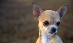 Everything you want to know about Chihuahuas including grooming, training, health problems, history, adoption, finding good breeder and more.