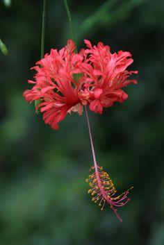 Hibiscus Schizopetalus, Colorful Flowers, Beautiful Flowers, Hibiscus Flowers, Flower Fashion, Flower Power, Natural, Planting Flowers, Photo Art