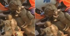 Monday's Cute And Aww: A Family Nap… -      Viral Spell's Monday's Cute and Aww gives you the adorable sight of a French Bulldog mother taking a well-earned nap with her babies. The cut...