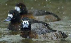 Greater Scaup females