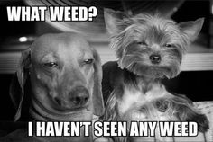 What weed? funny quotes black and white animals dogs weed marijuana humor