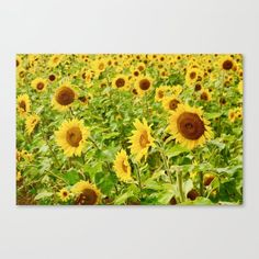 Sunflowers Canvas Print by richc Sunflower Canvas, Prince Edward Island, Latest Generation, Epson, Feels, Surface, Canvas Prints, Bright, Flat
