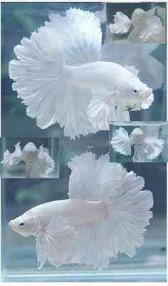 ❥ White Betta Fish~ what beautiful lacey fins! I actually might get some fish ! ❥ White Betta Fish~ what beautiful lacey fins! I actually might get some fish !