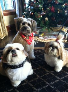 Two shih tzus and friend