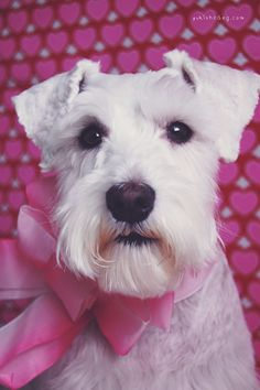 Happy Valentine's Day by Melissa Heard #Miniature #Schnauzer