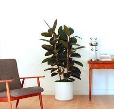 Ficus Elastica www.leonandgeorge.com #ficuselastica #plante #plants #planteparis