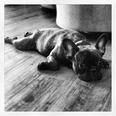 All Tuckered Out Frenchie