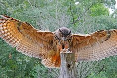 Eurasian Eagle-Owl by Daniela Duncan on 500px