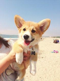 Happy Corgi pup at the beach.
