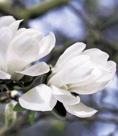Magnolia 'Jade Lamp'