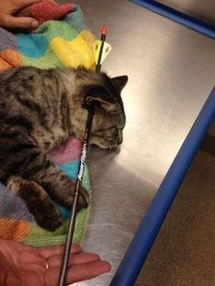 Portsmouth cat recovering after having been shot with an arrow through his head