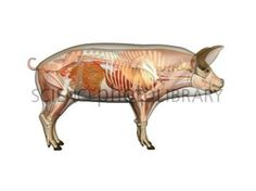 F Ddf Da A Af D Pigs Anatomy