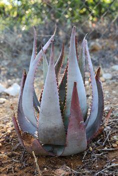Aloe chabaudii.