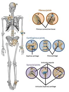 Where Are Synovial Joints Found | ... for joints: fibrous, cartilaginous and synovial joints