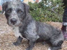 BENNY - URGENT - Los Angeles Animal Services: West Valley Shelter in Chatsworth…