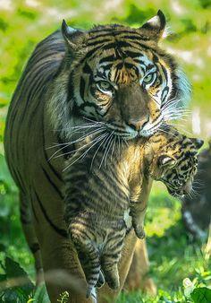 Tiger & Cub | Flickr - Photo Sharing!