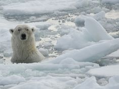 Polar Bear Facts   An adult male polar bear stalks a yearling cub and his family in ...