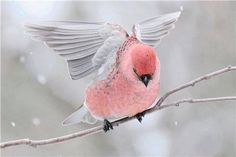 The pine grosbeak (Pinicola enucleator) is a large member of the true finch family, Fringillidae. It is found in coniferous woods across Alaska, the western mountains of the United States, Canada, and in subarctic Fennoscandia and Siberia.