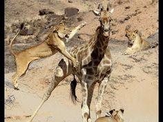 ▶ High Diving Giraff