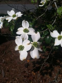 Dogwoods in Ailey