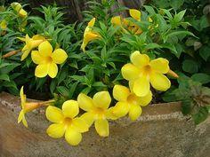 Growing to 5 or 6 feet tall, Bush Allamanda forms a loose, semi-open, medium-sized shrub.
