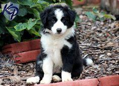 Kane – Border Collie Puppy