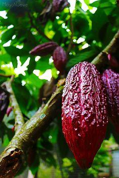 Fruto de cacao satipeño #cacao #Satipo #Junín #SelvaCentral #Perú #MayoNueve